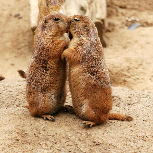 Kissing_Prairie_dog_edit_3