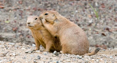 prairie-dog-scott-carr-ngs